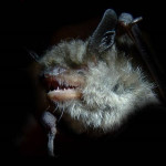 Nymphenfledermaus